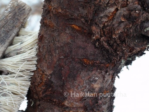 Jäkälän poisto: Jäkälän alla puun runko on tummaa, melkein mustaa. Värin saa aikaan jäkälähappo, jota jäkälä erittää puun rungolle.