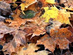 Vaahteran ja muiden lehtipuiden lehtiä syksyllä Lempäälässä.
