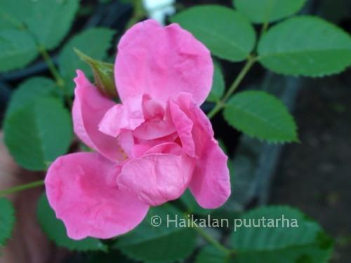 Loiste on kukaltaan helakan värinen ja kauniin tummalehtinen ruusupensas.