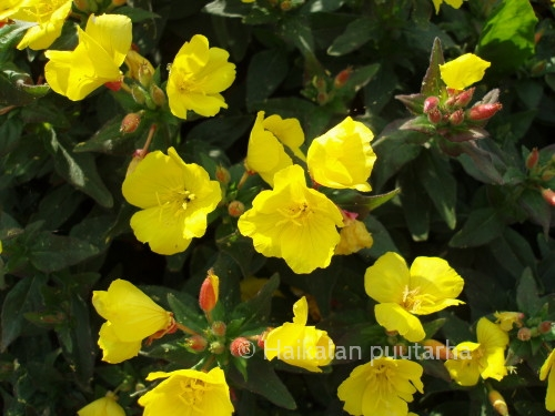"""Eri valaistuksessa samalla kasvillakin on eri sävyjä. Ruotsalaiset kutsuvat helokkia  nimellä """"gullnattljus"""" eli """"kultayövalo"""".  Syksyllä  koko kasvusto saa kauniin punaisen syysvärin."""