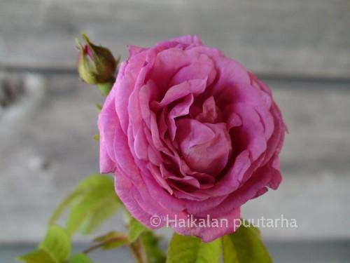 """""""Pikkalan"""" kukka on kauniisti kerrannainen ja täysin avoimena melkein pallomainen.  Aurinkoisella ilmalla kukan väri on vaaleamman punainen."""