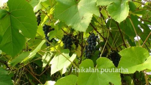 Viiniköynnöksen lehdet ovat isoja ja niitä voi kerätä loppukesällä pois varjostamasta kypsyviä rypäleterttuja. Lehdistä saa valmistettua herkullisia viininlehväkääryleitä.