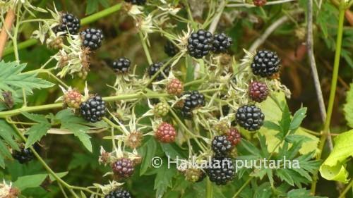 Thornless Evergreen- lajike on satoisa ja terve. Poimintakausi on melko pitkä ja ajoittuu elokuun lopusta syyskuun puoliväliin.