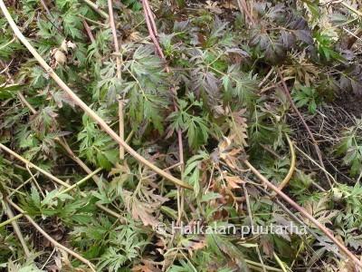 Thornless evergreenin lehdet