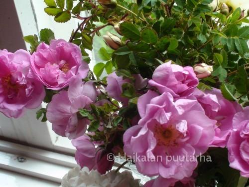 """Rosa """"Poppius"""""""