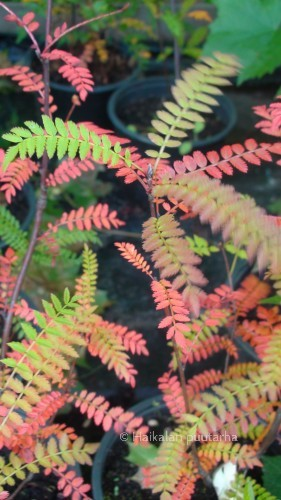 Helmipihlaja (Sorbus koehneana) on siro pieni pensas, jonka voisi istuttaa vaikkapa japanilaiseen puutarhaan.
