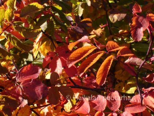 """Blandaruusu """"Toukoniitty"""" on vanha kanadanruusu-risteymä, joka on löytynyt Helsingistä Toukoniityn puistosta.  Kukat ovat hennon ruusunpunaiset ja melko vaatimattomat, mutta syksyllä """"Toukoniitty"""" puhkeaa yltäkylläiseen väriloistoon."""