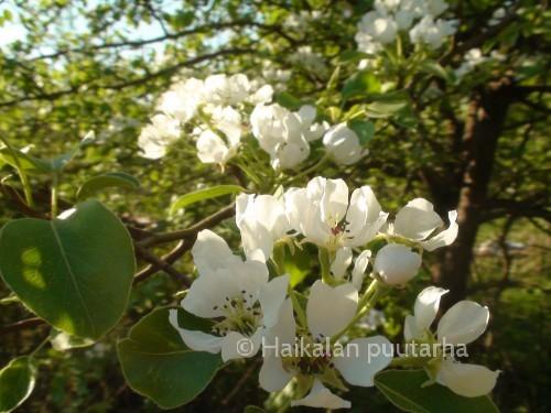 Päärynäpuu kukkii ennen omenapuita. Kauniit valkoiset kukat ovat sarjamaisina huiskiloina versojen kärjissä.