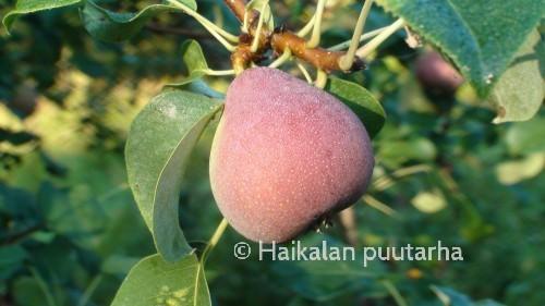 Isoin oma päärynäpuumme on saksalainen lajike Lück, joka on otettu viljelyyn Turusta. Sen hedelmät ovat auringon puolelta kauniin punaisia.