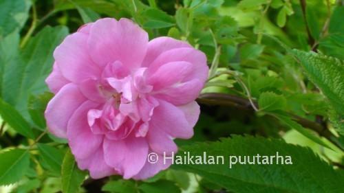 Ilo-ruusun kukka on miedosti tuoksuva