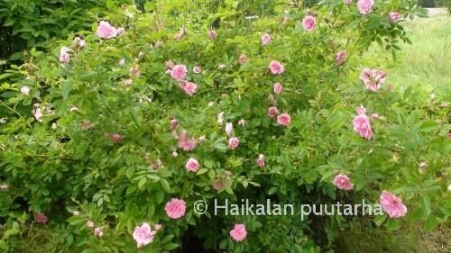 Ilo-ruusun lehdet ovat kauniin kiiltävät ja heleän vihreät. Kukkien väri on hiemna lohenpunaisempi kuin yleensä vaaleanpunaisilla ruusuillamme.
