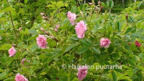 Pitkät ja lähes piikittömät oksat ovat täynnä siroja nuppuja ja jo auenneita kukkia.