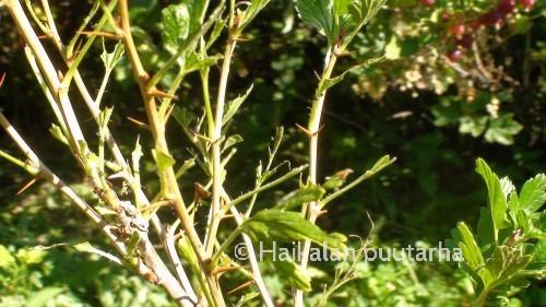 Karviaispensas reppana oli paljastettu talviasuunsa aivan liian aikaisessa vaiheessa loppukesää. Karviaispistiäisen toukat saattavat ilahduttaa myös syömällä punaherukan tai valkoherukan kaljuksi.