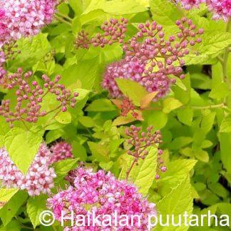 Spiraea_japonica_Golden_Princess