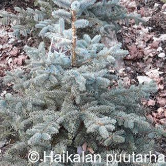 Picea_pungens_super_blue_seedling